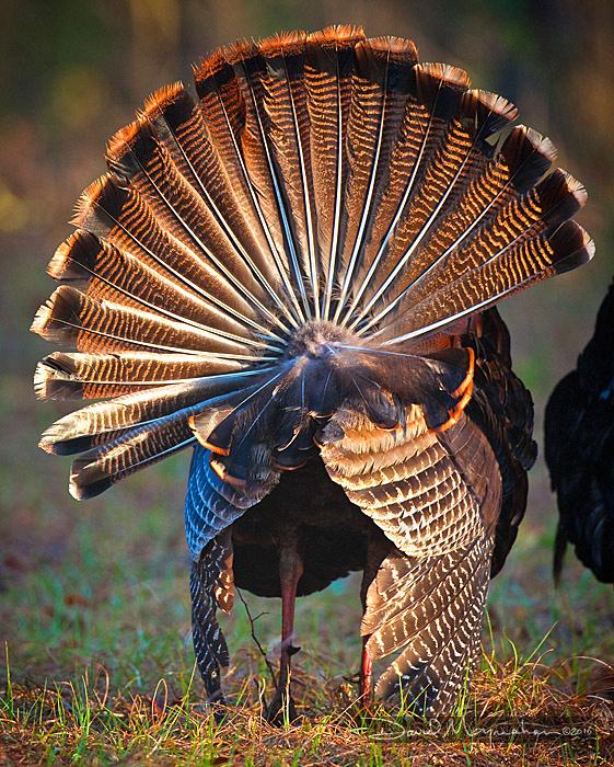 Turkey_Tail-211