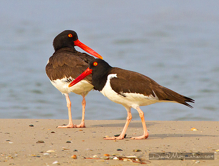 Oystercatcher_Pair