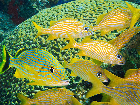 Striped Grunts on Brain Coral
