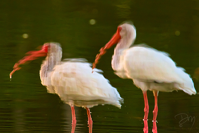 Ibis_Reflection