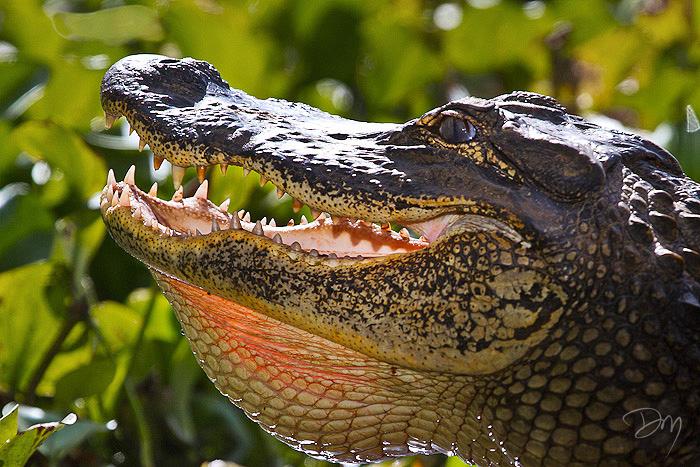Smiling Gator