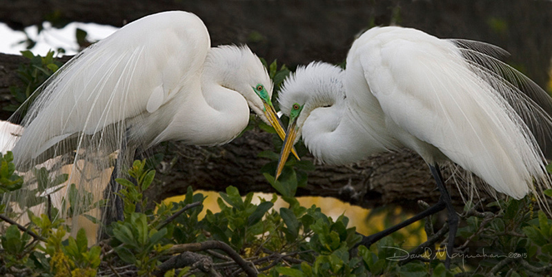 Great Egret Lovers
