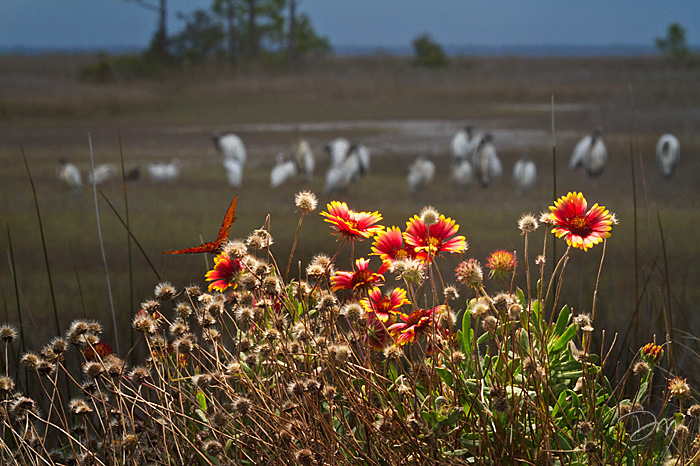 Blanket Flowers and Wood Storks