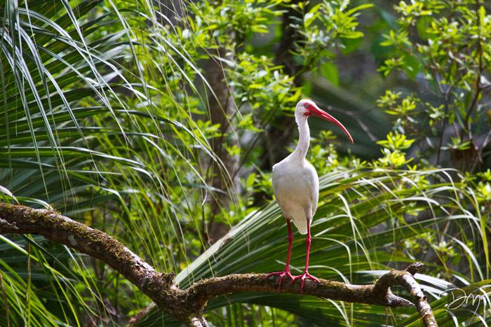 White Ibis Perch