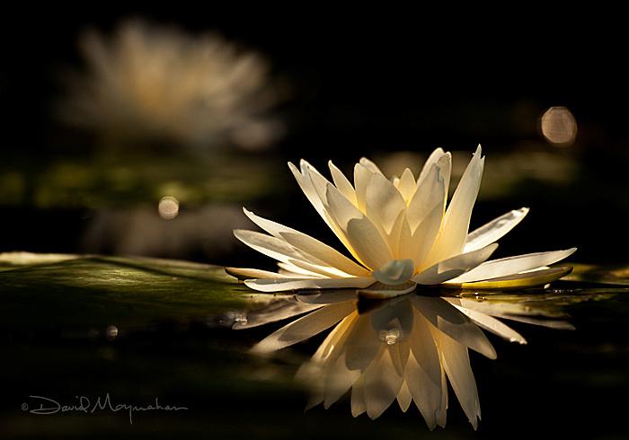 Lily Light