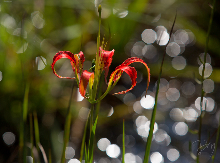 Speculated Pine Lily