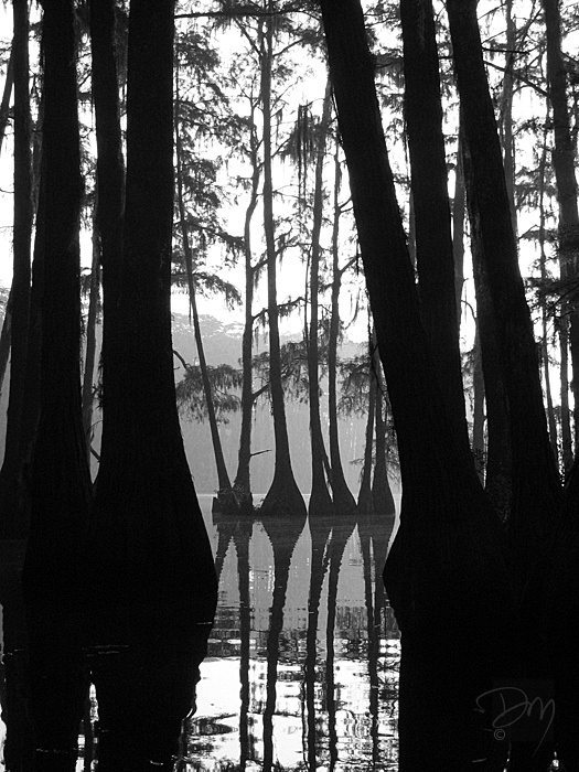 Cypress_Silhouette