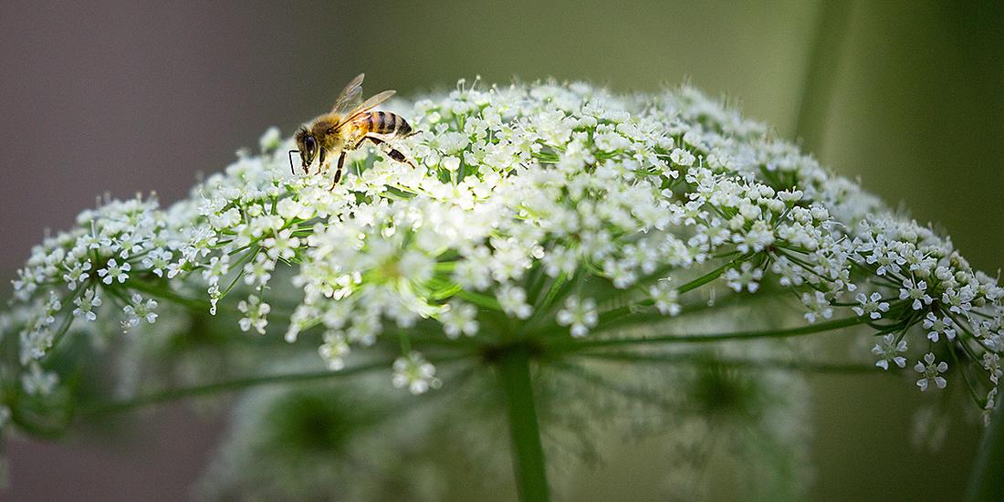 Bee on Hemlock Pano12