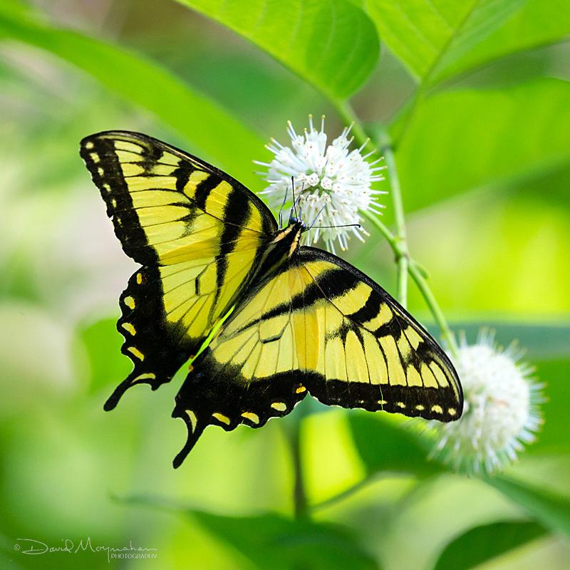 Eastern Swallowtail on Buttonbush