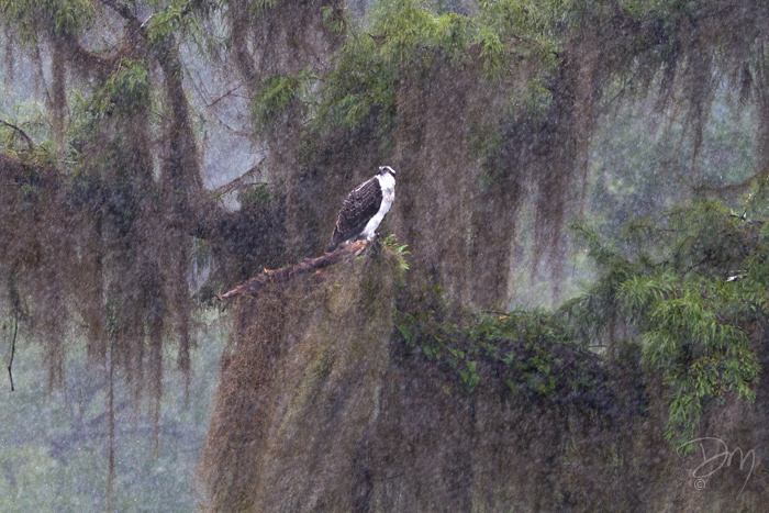 Osprey in Rain