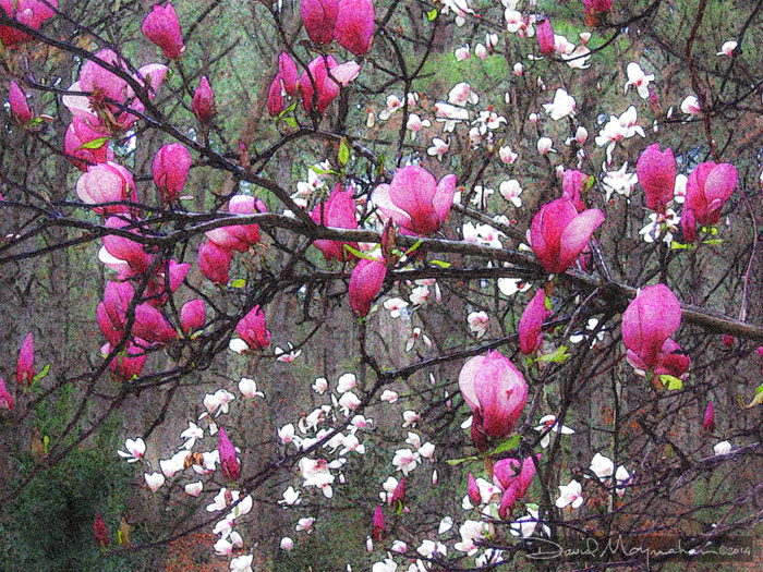 Japanese_Magnolia_Art
