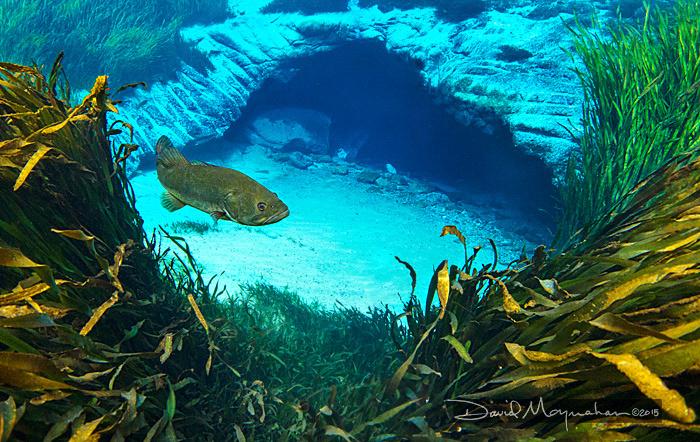 Blue Spring Bass