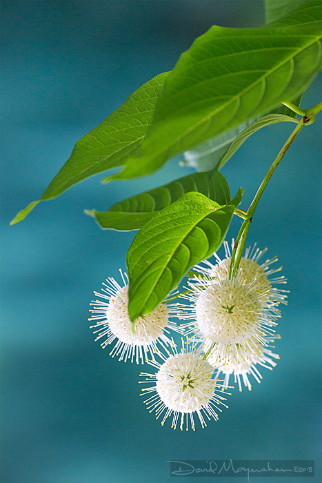 Buttonbush in Aqua