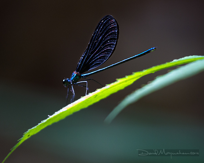 Ebony_Jewelwing_Damselfly_veins