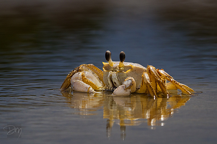 Ghost Crab Reflecting