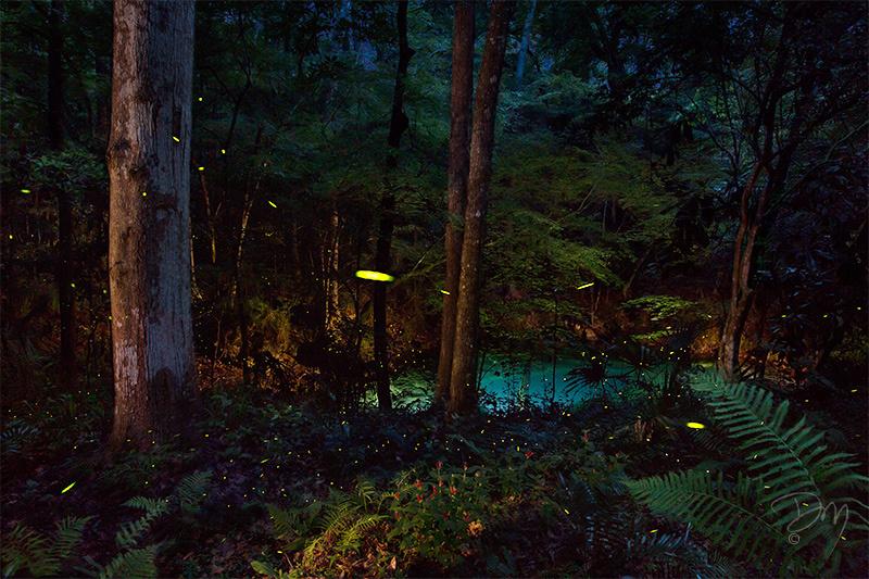 Firefly_Magic_Round_the_Sinkhole