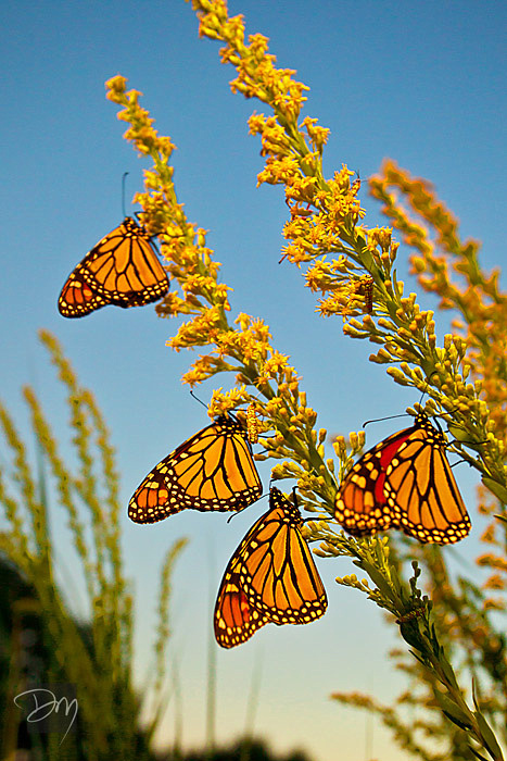 Monarchs on Goldenrod