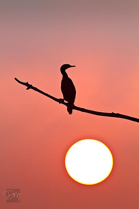 Cormorant Sunrise II