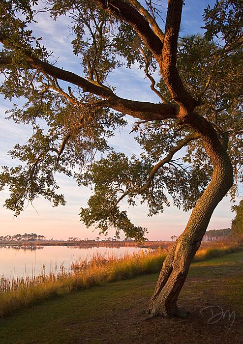 Bent Oak