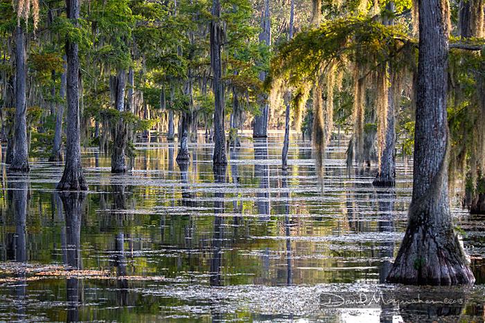 Silver Pond Cypress