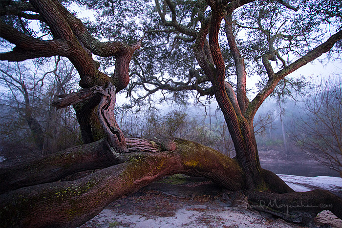 Fallen_Oak_at_Dawn