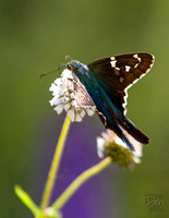 Long-tailed_Skipper