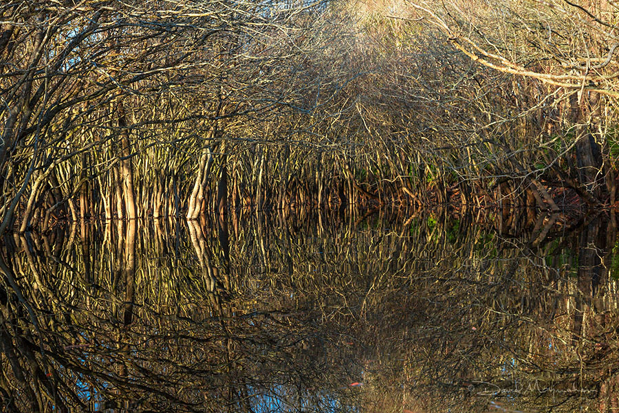 Thicket in Reflection
