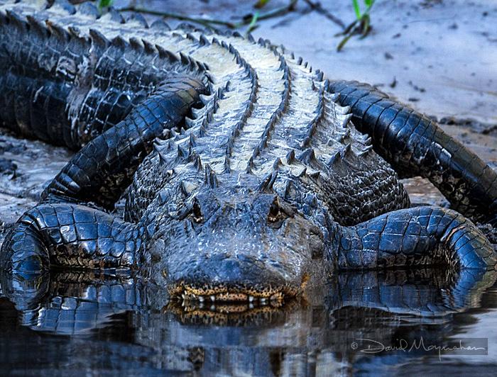 Alligator_Coming
