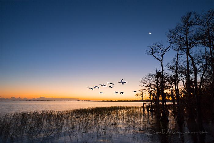 Ibis Under Crescent Moon