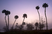 Palms_in_Fog_&_Heron