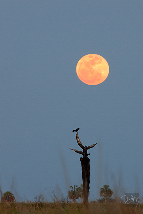 The Grackle & the Moon