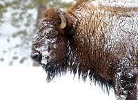 rosted Bison