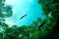 Flying_Fish_3